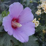 Full Blast™ Rose of Sharon
