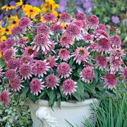 Butterfly Kisses Echinacea Coneflower Plant