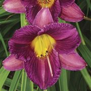 Purple de Oro Hemerocallis