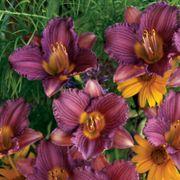 Hemerocallis 'Purple d'Oro' Alternate Image 1