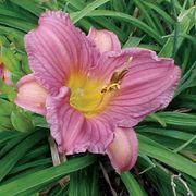 Hemerocallis 'Purple d'Oro' Alternate Image 3