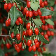 Goji Sweet Lifeberry Shrub