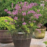 Bloomerang® Dark Purple Syringa image