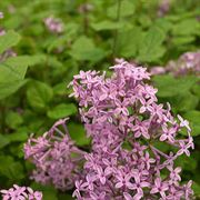 Bloomerang® Dark Purple Syringa