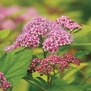 Double Play™ Big Bang Spiraea japonica