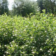 Cephalanthus Sugar Shack® image
