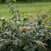 Cephalanthus Sugar Shack® Alternate Image 3