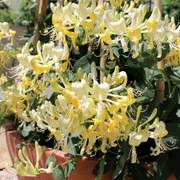 Scentsation Honeysuckle image