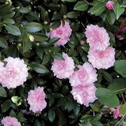October Magic® Pink Perplexion Camellia