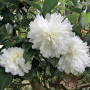 October Magic® Ivory Camellia
