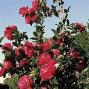 October Magic® Rose Camellia