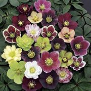 Winter Thriller™ Mix Lenten Rose