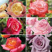 Rose of the Year® Winners Collection - 6 bareroot roses