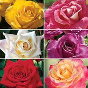 Mixed Bouquet Rose Collection - 6 bareroot roses