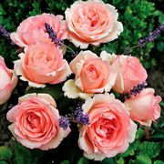 Pink Enchantment® Hybrid Tea Rose