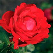 Heart Song™ Hybrid Tea Rose