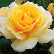 Winter Sun™ Hybrid Tea Rose
