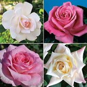 Most Fragrant Hybrid Teas Collection (4 2-quart containers)