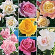Most Fragrant Hybrid Teas Collection (7 2-quart containers)