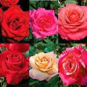 Big Blooms Collection (6 2-quart roses)