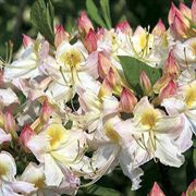 Darlins Dream Azalea