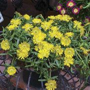 Wheels of Wonder® Golden Iceplant