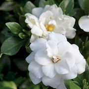 Double Mint Gardenia