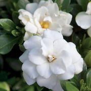 Gardenia 'Double Mint' Alternate Image 1