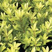 Illicium 'Florida Sunshine' image