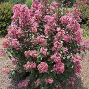 Coral Magic Crapemyrtle