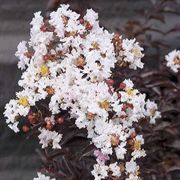 Moonlight Magic™ Crapemyrtle