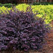 Crimson Fire™ Loropetalum image