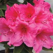 Anna Rose Whitney Rhododendron