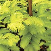 Gold Rush Dawn Redwood