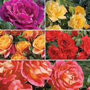 Colorful Blooms Value Collection - 5 Bareroot Roses