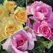 Soothing Pastels Floribunda Value Collection - 6 Bareroot Roses