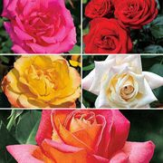 Hybrid Tea Value Collection - 5 Bareroot Roses