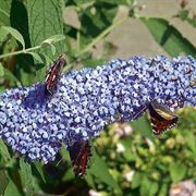Buzz™ True Blue Butterfly Bush
