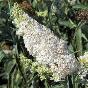 Yeti White Butterfly Bush