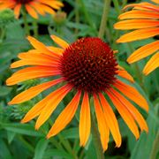 Flame Thrower Coneflower