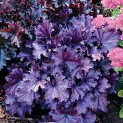 Heuchera Forever® Purple image