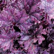 Heuchera Forever® Purple Alternate Image 1