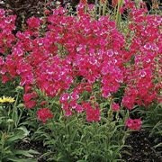Cha Cha™ Hot Pink Beardtongue