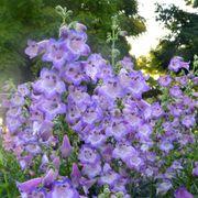 Cha Cha™ Lavender Penstemon image