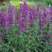 Cha Cha™ Purple Beardtongue