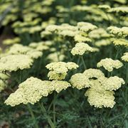 Moon Dust™ Yarrow