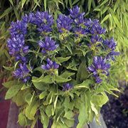 Genti Blue® Clustered Bellflower