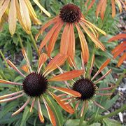 Echinacea purpurea Indian Summer