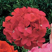 Orbit Rose Geranium Seeds