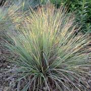 Standing Ovation Bluestem